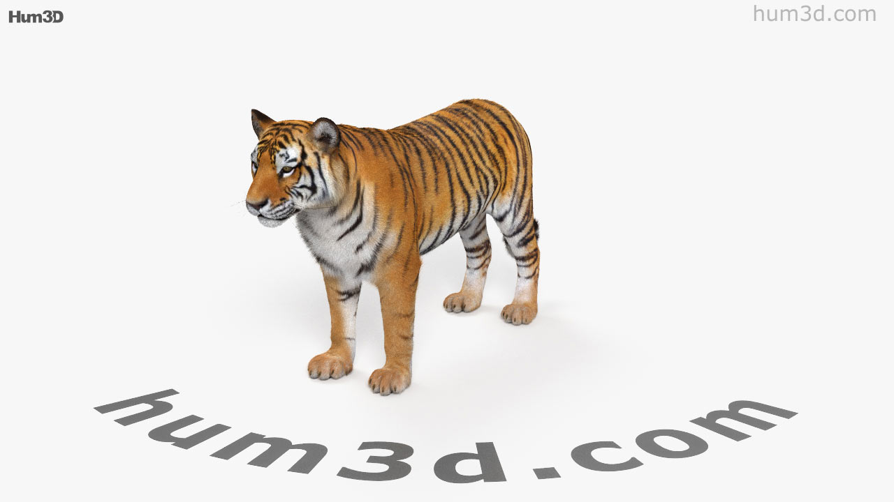 360 view of tiger hd 3d model - hum3d store