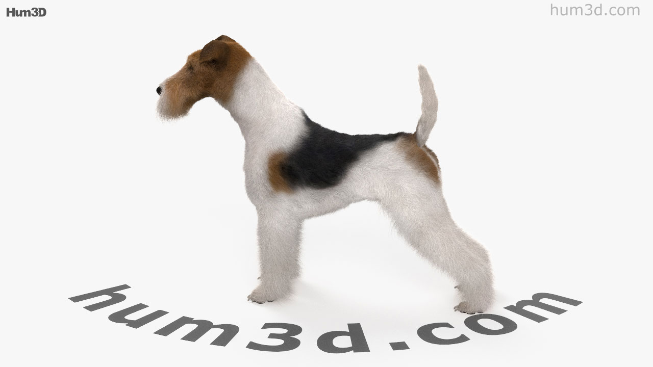 360 view of Wire Fox Terrier HD 3D model - Hum3D store