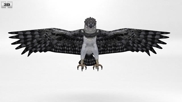 360 view of Harpy Eagle 3D model - Hum3D store