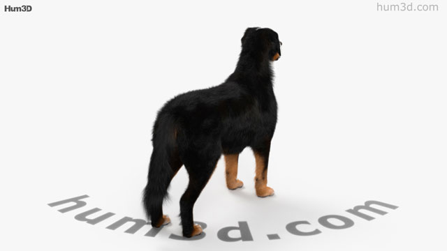 360 View Of Bernese Mountain Dog Hd 3d Model Hum3d Store